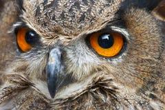 Um fim acima de uma coruja de águia européia Imagens de Stock Royalty Free