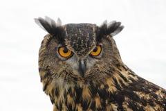 Um fim acima de uma grande coruja horned impressionante fotografia de stock royalty free