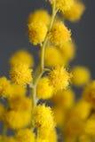 Fim-Acima amarelo das flores da acácia (Mimosa) Foto de Stock Royalty Free