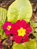 Um fim acima do tiro de uma cabeça de flor roxa e amarela fora com imagens de stock