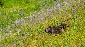 Um fim acima do tiro de um urso pardo grande selvagem na grama de florescência no movimento imagens de stock royalty free
