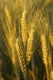 Um fim acima do trigo ainda nos campos Fotos de Stock Royalty Free