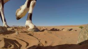 Um fim adulto acima dos pés, parque nacional internacional da gazela do Oryx do Gemsbok de Kgalagadi, África do Sul foto de stock