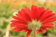 Um fim bonito da flor do gerbera acima imagens de stock royalty free