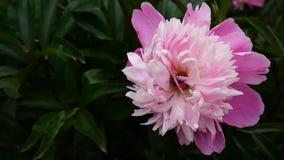 Um fim cor-de-rosa da flor da peônia acima no movimento do canteiro de flores no vento Câmera da estática das imagens de vídeo de video estoque