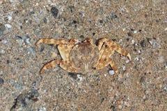 Um fim do caranguejo do Mar Vermelho acima de Imagem de Stock