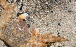 Um fim do caranguejo do Mar Vermelho acima de Foto de Stock Royalty Free