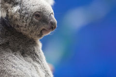 Modelo do Koala fotos de stock