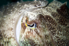 Um fim isolado acima do underwater colorido dos chocos do calamar com macro grande do olho em Bornéu, Malesya Imagem de Stock