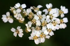 Um fim macro acima da vista das flores brancas do yarrow na flor fotografia de stock royalty free
