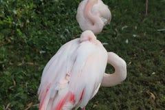 Um flamingo adormecido com cabeça sob a asa Fotos de Stock Royalty Free