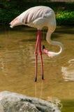 Um flamingo cor-de-rosa Imagem de Stock