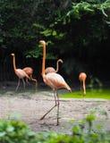 Um flamingo está andando Imagens de Stock Royalty Free
