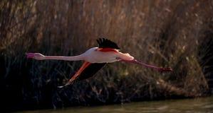 Um flamingo maior em voo Foto de Stock Royalty Free