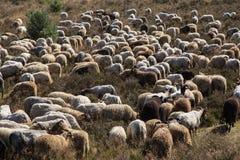 Um flok do Drenthe Heath Sheep, pastando fotografia de stock