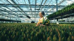 Um florista recolhe tulipas de uma moída, trabalhador da estufa video estoque