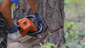 Um forestman está cortando para fora uma parte de madeira menor de uma árvore a fim poder reduzir uma árvore spruce vídeos de arquivo
