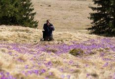 Um fotógrafo e muitos açafrões no prado Vale de Chocholowska Fotografia de Stock Royalty Free