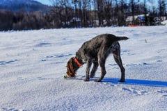 Um fousek de Cesky está procurando algumas perfume ou cópias Uma tentativa colorida marrom e cinzenta bonita do cão encontrou alg fotografia de stock