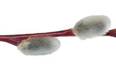 Um fragmento de um ramo do salgueiro imagem de stock
