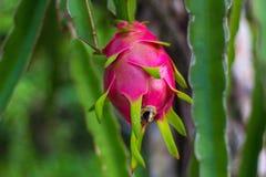 Um fruto do dragão Foto de Stock