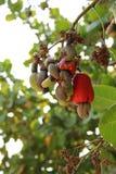 Um fruto selvagem Imagem de Stock Royalty Free