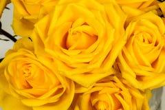 Um fundo amarelo do close-up da rosa Foto de Stock Royalty Free