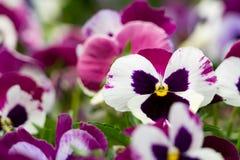 Um fundo de pansies cor-de-rosa e brancos escuros Fotos de Stock Royalty Free