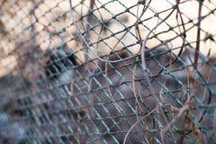 Um fundo do outono com a liana da videira virgem na cerca oxidada velha do jardim do metal imagens de stock royalty free