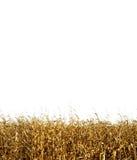 Um fundo tileable do milho Imagem de Stock
