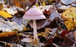 Um fungo bonito Mycena-rosea de Rosy Bonnet que cresce através da maca da folha no assoalho da floresta no Reino Unido imagens de stock