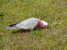 Um Galah cor-de-rosa e cinzento na grama verde fotografia de stock