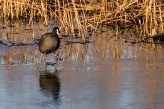 Um galeirão está andando no gelo fino Foto de Stock