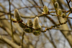 Um galho na primavera Fotos de Stock Royalty Free
