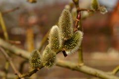Um galho na primavera Foto de Stock Royalty Free