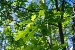 Um galho novo do carvalho com folhas verde-clara é iluminado pela luz solar de energização da mola foto de stock