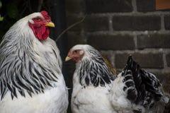 Um galo branco de Colômbia Brahma com suas galinhas imagem de stock