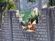 Um galo e sua galinha foto de stock