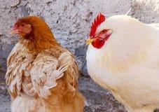 Um galo e uma galinha perto de uma parede ensolarada Fotografia de Stock Royalty Free