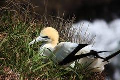 Um gannet de descanso fotos de stock royalty free