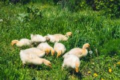 Um ganso amarelo pequeno em um gramado verde Fotos de Stock