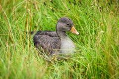 Um ganso cinzento que senta-se na grama e que olha ao redor para o alimento Fotografia de Stock Royalty Free