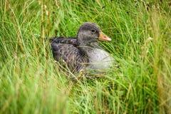 Um ganso cinzento que senta-se na grama e que olha ao redor para o alimento Fotos de Stock