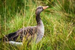 Um ganso cinzento que senta-se na grama e que olha ao redor para o alimento Fotografia de Stock
