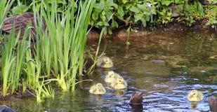 Um ganso de Canadá que ensina seus ganso para nadar Imagens de Stock