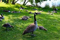Um ganso de mãe guarda diversas famílias juvenis dos gansos imagem de stock royalty free