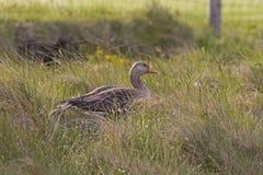 Um ganso de pato bravo europeu, anser do Anser, na grama longa fotos de stock royalty free