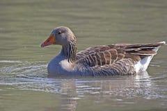 Um ganso de pato bravo europeu, anser do Anser, natação imagem de stock