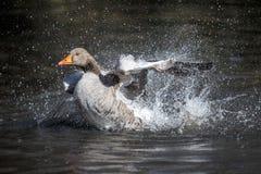 Um ganso de pato bravo europeu que tem um banho imagens de stock