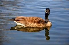 Um ganso está caçando Imagem de Stock Royalty Free